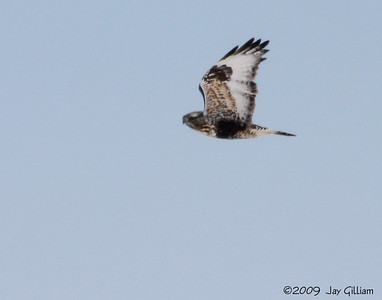 Rough-legged Hawk in Adams Co.  03-01-09