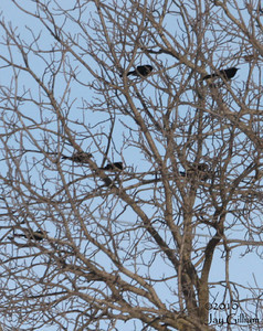 Great-tailed Grackles near North River, Warren Co.  03-20-10