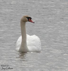 Mute Swan at Lake Wapello SP, Davis Co.  03-28-10