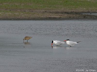 Marbled Godwit and Caspian Terns