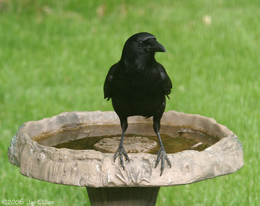 American Crow in my backyard