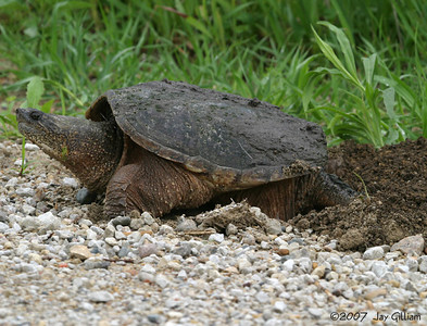 Snapping Turtle laying eggs on the side of the road, Warren Co.  26 May
