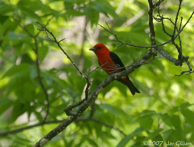 Scarlet Tanager at Squirrel Hollow Park, Greene Co.   11 May