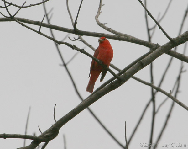 Summer Tanager at Geode SP, Henry Co.  28 May