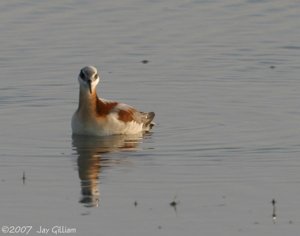 Wilson's Phalarope south of Salix, Woodbury Co.   20 May