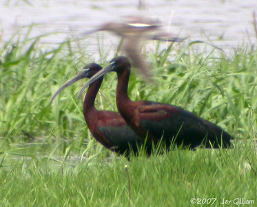 Glossy Ibis at Moeckley Prairie, Polk Co.  07 May