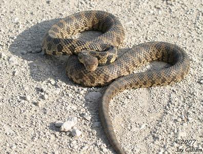 Bull Snake  22 May