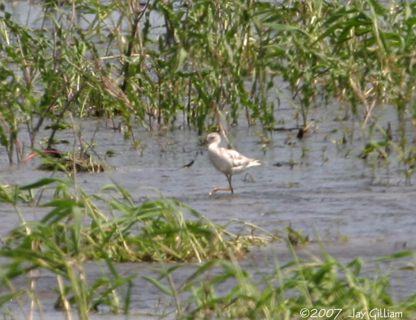 Leucistic Lesser Yellowlegs at Moeckley Prairie, Polk Co. 25 May