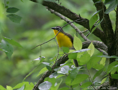 Yellow-breasted Chat at Shimek SF, Lee Co. 28 May
