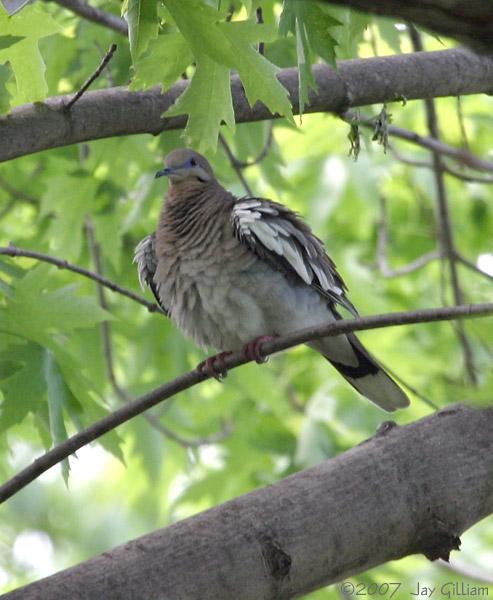White-winged Dove in Johnston, Polk Co.   12 May