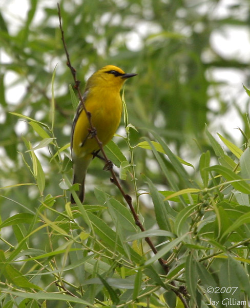 Blue-winged Warbler near Geode SP, Henry Co.  28 May