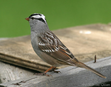 White-crowned Sparrow in my backyard  05 May