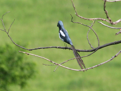 Pheasant-tailed Magpie at Broken Kettle Grasslands, Plymouth Co.  19 May