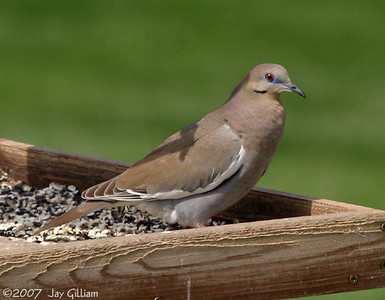 White-winged Dove in Johnston, Polk Co.   12 May