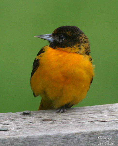 Baltimore Oriole in my backyard   08 May