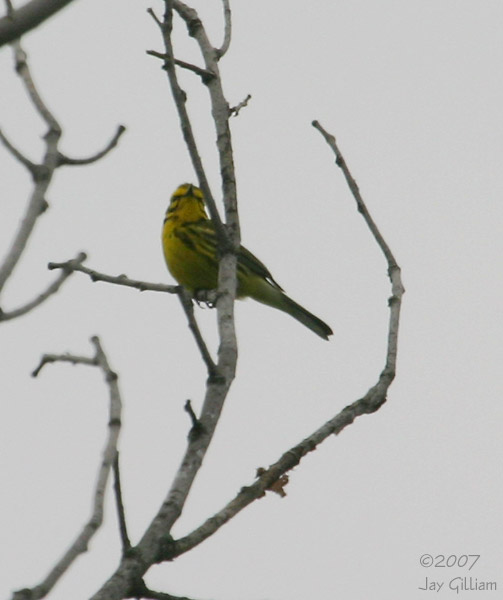 Prairie Warbler at Pleasant Creek SRA, Linn Co.   28 May