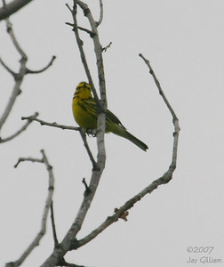 Prairie Warbler at Pleasant Creek SRA, Linn Co.   28 May