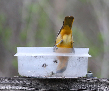 This female Baltimore Oriole is trying hard to get that last bit of jelly out!  05-01-08