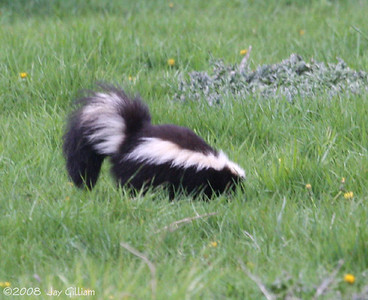 Skunk in rural Jasper Co.  05-10-08