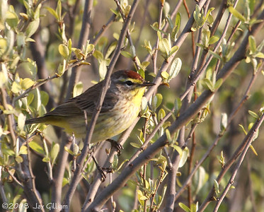 Palm Warbler at Meadow Lake, Adair Co.  05-03-08