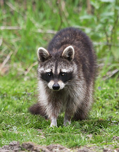 Raccoon at Walnut Woods feeders  05-01-08