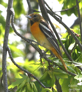 Immature male Baltimore Oriole in my backyard  05-15-08