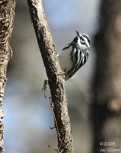 Black-and-White Warbler at Walnut Woods SP  05-04-08