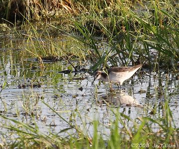 Wilson's Phalarope at Hwy 141 puddle, Polk Co. 05-07-08