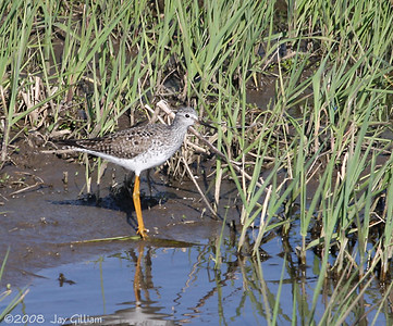 Lesser Yellowlegs in Adair Co.  05-03-08