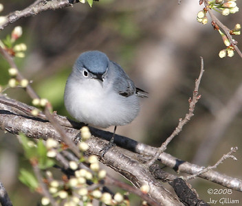 Blue-gray Gnatcatcher at Adair WA in Adair Co.  05-03-08