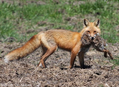 Red Fox taking a rabbit out to eat, in Union Co. 05-03-08