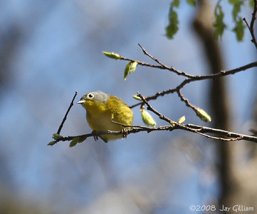 Nashville Warbler at Walnut Woods SP  05-04-08