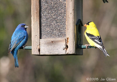 Indigo Bunting and American Goldfinch at Walnut Woods feeders  05-04-08