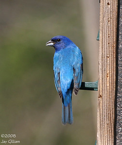 Indigo Bunting at Walnut Woods feeders  05-04-08