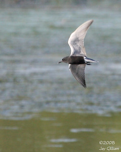 Black Tern at a Warren Co. wetlands  05-14-08