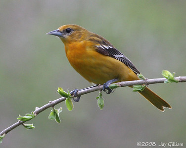 Female Baltimore Oriole at Walnut Woods feeders  05-01-08