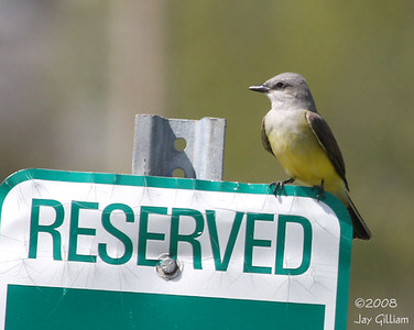 Western Kingbird at the state capitol complex  05-04-08