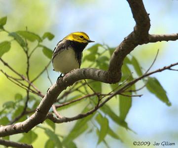 Black-throated Green Warbler at Walnut Woods SP, Polk Co.  05-09-09