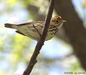 Ovenbird at Walnut Woods SP, Polk Co.  05-09-09