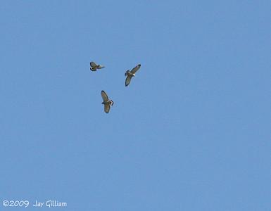 Broad-winged Hawks at Moorehead Park, Ida Co.  05-02-09