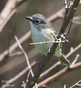 Blue-headed Vireo at Poe Hollow Park, Ringgold Co.  05-16-09