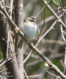 Clay-colored Sparrow at Poe Hollow Park, Ringgold Co.  05-16-09