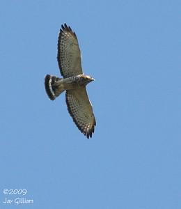 Broad-winged Hawk at Moorehead Park, Ida Co.  05-02-09