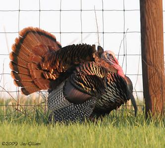 Wild Turkey tom near Walnut Woods SP, Polk Co.  05-09-09
