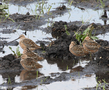 Long-billed Dowitchers at Dunbar Slough, Greene Co.  05-01-09