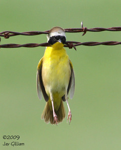 Common Yellowthroat that had caught itself in a fence near Boxcars, Marion Co.  05-10-09