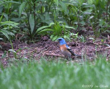 Lazuli Bunting in West Des Moines backyard, Polk Co.  05-06-09