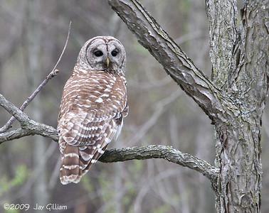 Barred Owl at Walnut Woods SP, Polk Co.  05-01-09