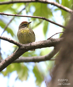 Palm Warbler at Walnut Woods SP, Polk Co.  05-09-09