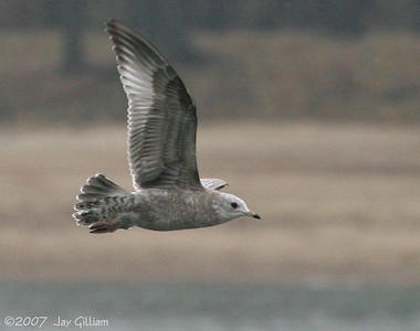 Juvenile Mew Gull below Red Rock dam  11-18-07